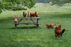 raising free range chicken 101 benefits and practical tips