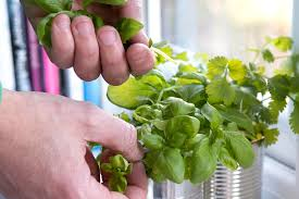 picking herbs in pictures gardenersworld com