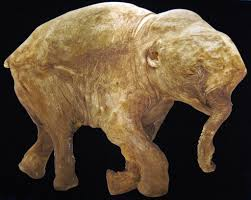 mammuthus primigenius baby woolly mammoth late pleistoc u2026 flickr