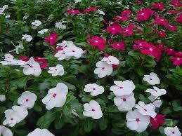 Vinca Flower Information - plantanswers plant answers u003e disease resistant annual vinca