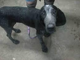 bluetick coonhound florida bluetick coonhound dog for adoption in fort walton beach fl adn