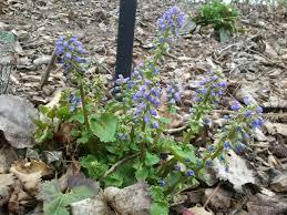 seasonal gardening u2013 california native alpine plants u2013 awkward botany