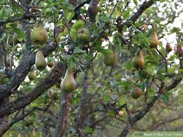 how to buy fruit trees 13 steps with pictures wikihow