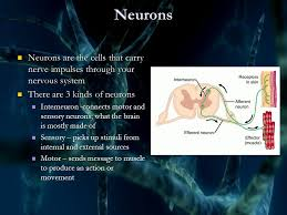 What Is Interneuron The Nervous System Key Concepts Muscle Motor Neuro N Interneuron