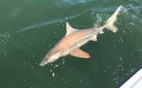 what 5 sharks are most commonly found in local waters island packet
