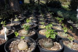 gerrardanthus macrorhizus cacti com