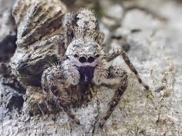 tan jumping spider roads end naturalist