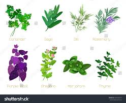 Kitchen Herb by Set Herbs Spices Collection Kitchen Herbs Stock Vector 429526075