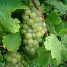 buy chardonnay grafted grape vines for sale double a vineyards