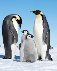 emperor penguin facts for kids yourkidsplanet com
