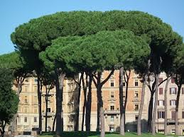 100 best the pines of rome images on rome italy pine