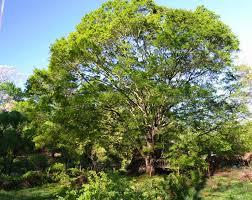 when cheap trees aren t pine landscape architect