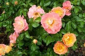drift roses drift groundcover for sale the planting