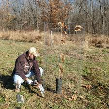 chestnut trees for sale dunstan chestnuts we grow