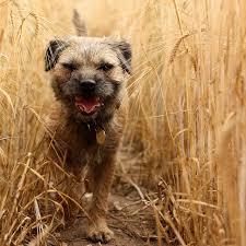 Temporary Blindness In Dogs Foxtails In Dogs Symptoms Removal Treatment And Prevention