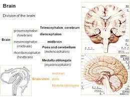 Anatomy And Physiology Of The Brain Mbbs Medicine Humanity First Anatomy Of The Brain Stem