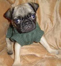 pug sweater pug sweater manicdote