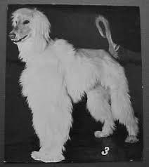afghan hound breeders new york afghan hound times ephemera index page1