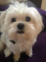 affenpinscher maltese mix lost in montecito heights 3 year old male maltese the eastsider la