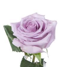 lavender roses lavender song flower muse