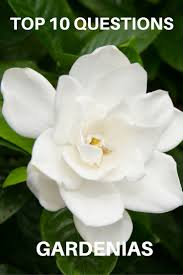 best 25 gardenia bush ideas on pinterest gardenias flowering