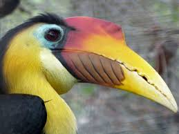 hornbill lee u0027s birdwatching adventures plus