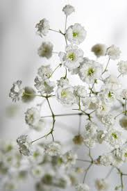 baby s breath flower ba breath flowers photograph masha batkova baby s breath flower