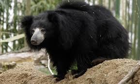 sloth bear smithsonian u0027s national zoo