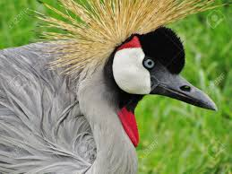 the crested crane found in many parts of africa is the national