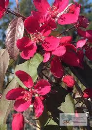 Profusion Flowering Crabapple - malus moerlandsii u0027profusion crabapple u0027 ellenby tree farm