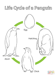 life cycle of a penguin coloring page free printable coloring pages