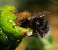 Seeking Honey Natureplus A Bumble Bee Seeking Honey Dew Perhaps