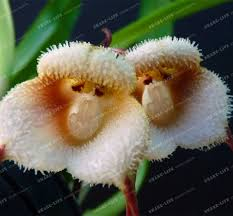 monkey orchid monkey orchid seeds picture more detailed picture about