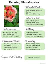 gardening guide how to grow sweet strawberries