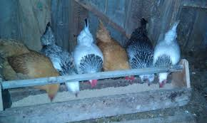 Backyard Chicken Blogs by Backyard Poultry 101 Cornell Small Farms Program