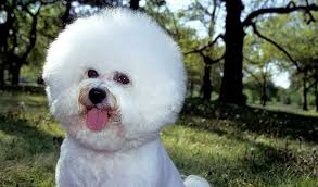 bichon frise dogs for adoption bichon frise dog breed information