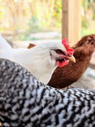 raising chickens or other poultry for eggs meat or as pets