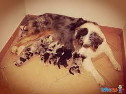 australian shepherd 7 mesi pastore australiano cuccioli blue merle e tricolore in vendita