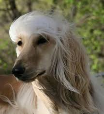 afghan hound blonde grooming an afghan hound afghan hounds pinterest afghans and