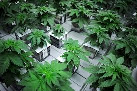 native plants of south dakota south dakota marijuana archives medical marijuana
