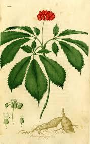 ephedra plant wikipedia 8 best panax ginseng ginseng images on pinterest farming
