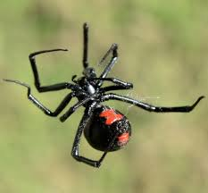 Black Widow Spiders Had A - black widow spider pest control barrier pest solutions