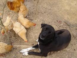 how to train a dog to protect backyard chickens pethelpful