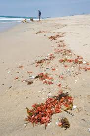 hundreds of red crabs wash up in huntington beach u2013 orange county
