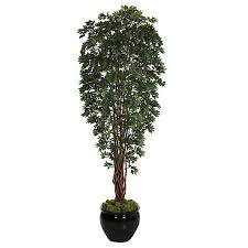 10 foot lychee tree potted w 80130