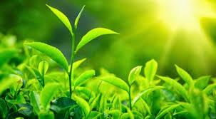 sunlight l for plants what do plants use sunlight energy for quora