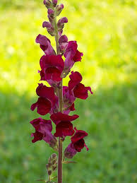 snapdragon flowers snapdragon flower pictures the flowers meaning