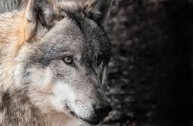 imagenes de fondo de pantalla lobos ojos lobo fondos pantalla animadosdos aplicaciones en google play