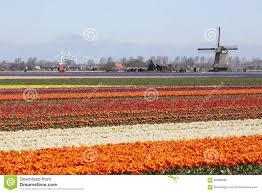 Netherlands Tulip Fields Spring In Netherlands Tulip Flower Field Red Tulips Flowers Wind