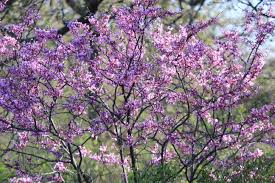 eastern redbud an acre in texas